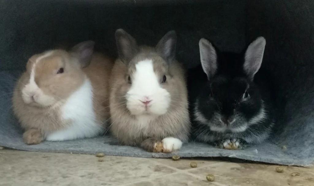 bunnycouns