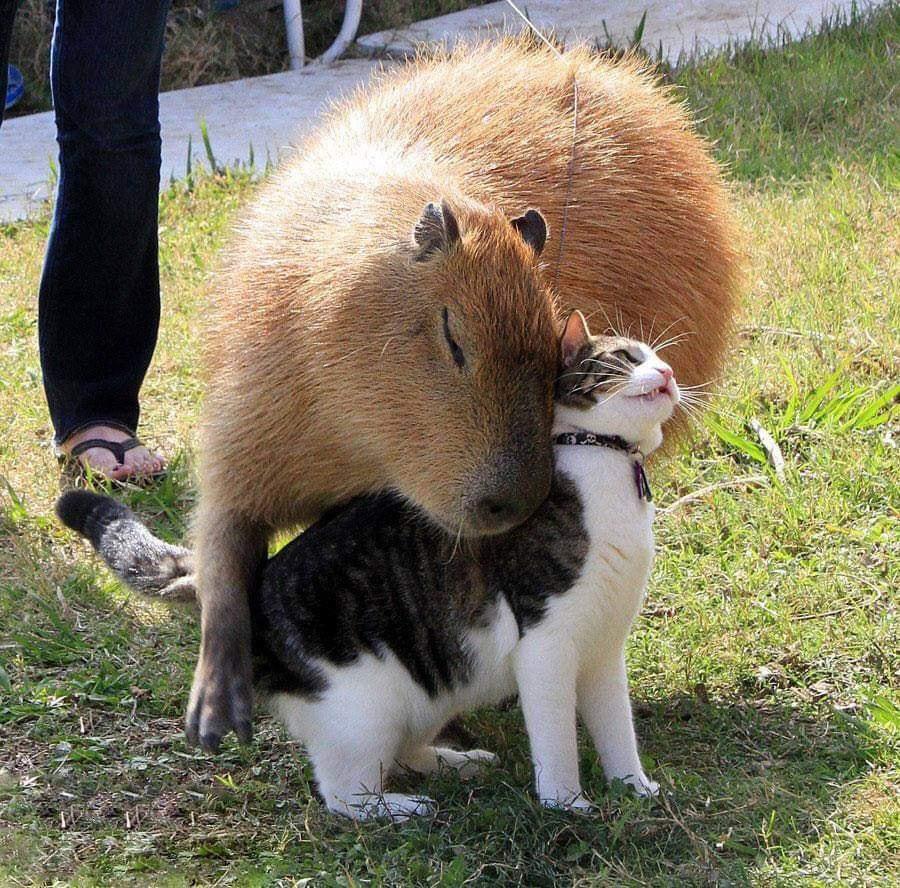 capybaraCat