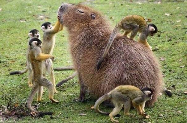 capybaraMonkeys